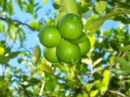 Ackee Fruit Tree - pale green fruit with white sweet flesh that has the texture of