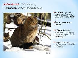 obr cky promykovití kočkovití hyenovití ppt stáhnout