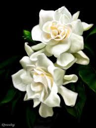 gardenia flower wedding flowers and symbolism gardenias gardenias flowers lime