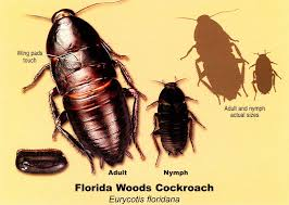 florida wood best florida woods cockroach elimination tips you need to