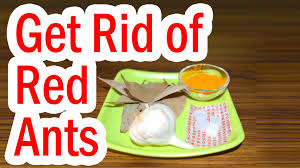 how do i get rid of tiny red ants in my kitchen the best of ant 2017