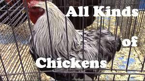 lots of different chicken breeds from ameraucana to wyandottte