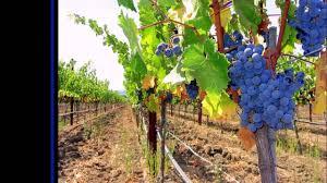 Plants For Pergolas by Grapes Pergola Review Youtube