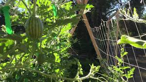 watermelon and pumpkin vines growing on a trellis youtube
