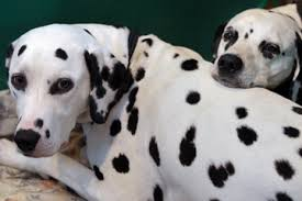 dalmatians good family dogs howstuffworks