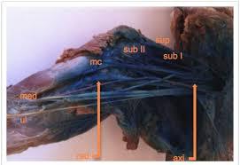 a cadaveric study to determine the minimum volume of methylene