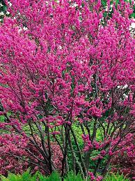 17 best trees for small spaces images on pinterest small trees
