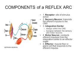 Motor Reflex Arc The Peripheral Nervous System And Reflex Activity Ppt Download