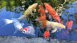 Botanical Gardens Sarasota Fl Koi Fish Pond At Selby Botanical Gardens In Sarasota Florida
