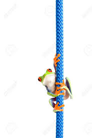 frog hanging on a a red eyed tree frog agalychnis