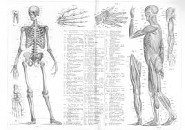 Human Anatomy Words Anatomy Definition Etymology And Usage Examples And Related Words