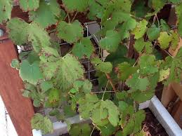leaves on ornamental grape vine go brown on edges and eventually