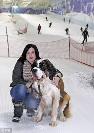 where do you put a st cancer stricken st bernard 6 enjoys last moments in the snow