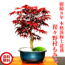 hanagokoro bonsai rakuten global market japanese maple bonsai
