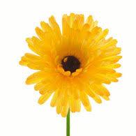 Calendula Flowers Meaning Of Calendula Flowers What Do Calendulas Mean