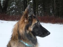 belgian shepherd wallpaper belgian shepherd tervuren dogs breeds pets