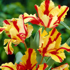 bloomsz parrot tulip flaming parrot flower bulb 8 pack 07602