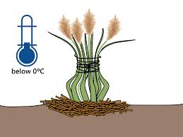 how to bring a dead plant back to life how to grow pampas grass 15 steps with pictures wikihow