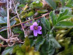 plants native to ireland new year plant hunt which plants are flowering in midwinter