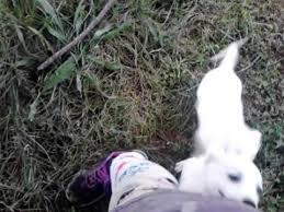 american eskimo dog vs keeshond american eskimo dog and chihuahua mix youtube