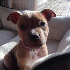 american pitbull terrier yavru pitbulls best friends pitbulls pinterest pit bull