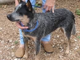 australian shepherd blue heeler puppy world blue heeler puppy pictures