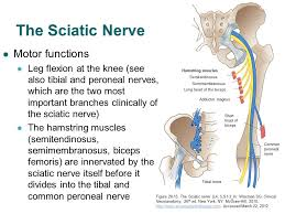 Nerves In The Knee Anatomy Accessphysiotherapy Lumbar And Sacral Plexus With Clinical Cases