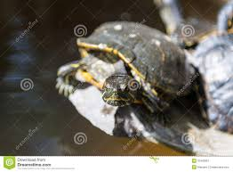 turtle stretching neck stock photos sign up for free