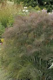 foeniculum vulgare bronze venkel 100 p9 palmhunters