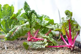 plant fall and winter vegetables