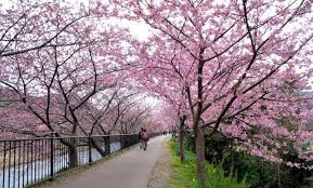 shizuoka prefecture u2013 kawazu cherry blossom festival good luck