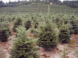 Pacific Northwest Christmas Tree Association - christmas trees nw news network