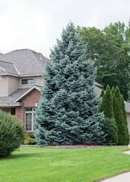 blue spruce spruce colorado blue spruce earl may nursery and garden centers