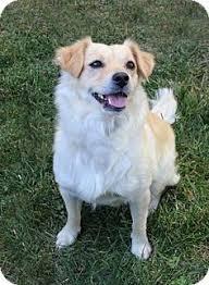 Comfort Retrievers For Adoption Golden Cocker Retriever Dog For Adoption In Downey Ca Adn 474803