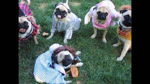 pugs in costumes youtube