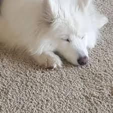 american eskimo dog washington state the whole pup 11 photos u0026 14 reviews pet sitting 21010 70th