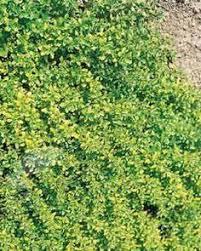 artemesia ludoviciana u0027valerie finnis u0027 wormwood plant with