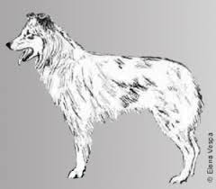 lonesum d australian shepherds pyrenean shepherds u2013 a missing link part 1 all about aussies