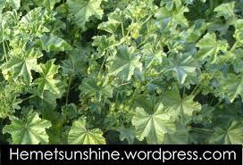 san diego native plants edible weeds malva sylvestris common mallow hemet sunshine