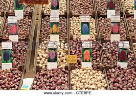 hyacinth bulbs for sale in amsterdam flower market stock photo