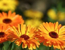 Calendula Flowers Fun Flower Facts Pot Marigold Calendula Grower Direct Fresh