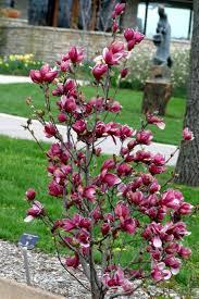 best 25 magnolia ideas on magnolia shrub