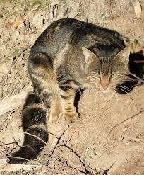 Arizona wild animals images Cat feral or wild a z of pest animals pest animals pests jpg