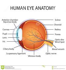 Anatomy Of Human Eye Ppt The Anatomy Of The Human Eye Anatomy Of The Human Eyeball