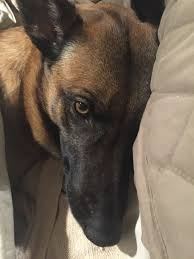 belgian malinois little rock 354 best animals belgian malinois are magnificent images on