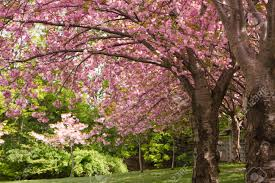 pink cherry blossom trees in a japanese garden stock photo