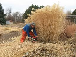 winter gardening cutting back perennials and ornamental grasses