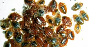 What Kills Bed Bug Eggs Mothballs Rubbing Alcohol Score Poorly In Tests Of Diy Bedbug
