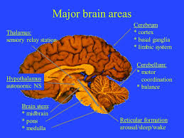 Part Of Brain That Controls Arousal The Cranial Nerves Central Nervous System Brain Identify The