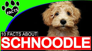 Do Cockapoo Dogs Shed A Lot by Schnoodle Dogs 101 10 Facts About Schnoodles Popular Designer